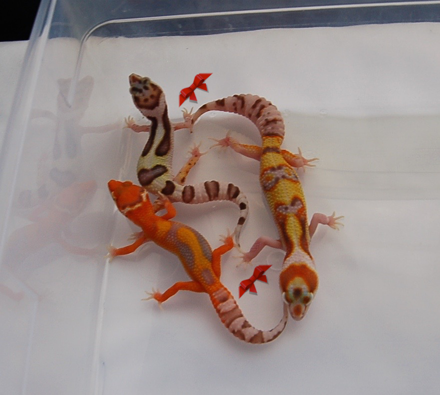 Home Leopard Geckos for Sale